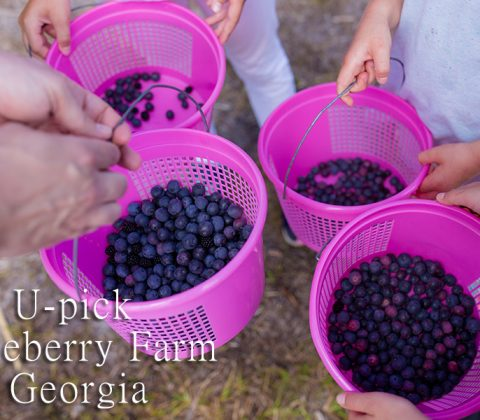 U-pick Blueberry Farm Georgia